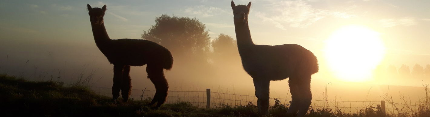 Alpaca's in de mist