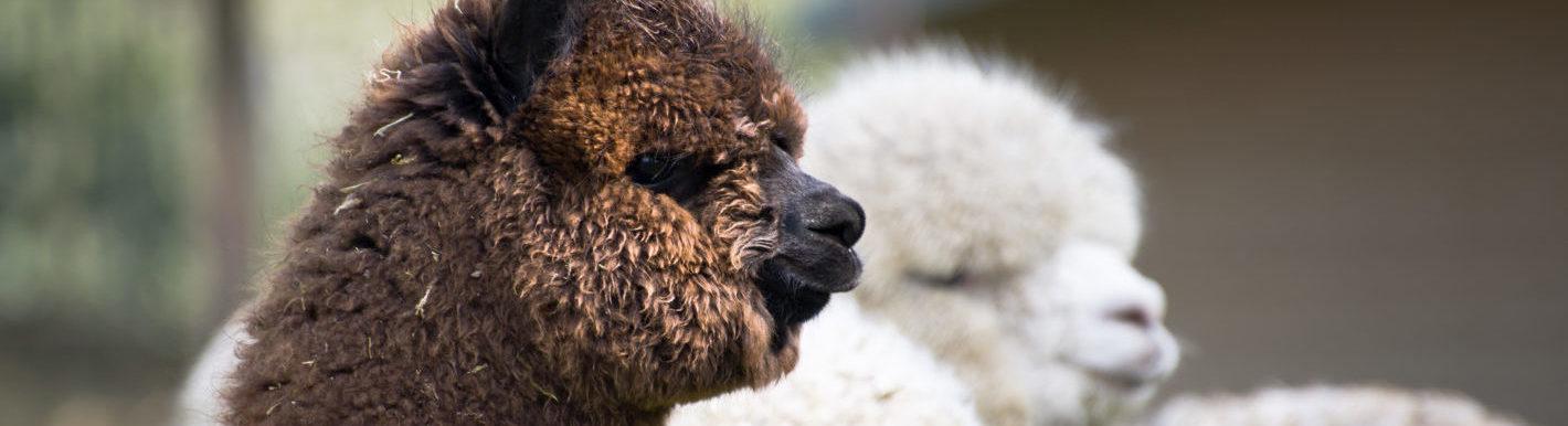 Rundertuberculose bij alpaca's banner