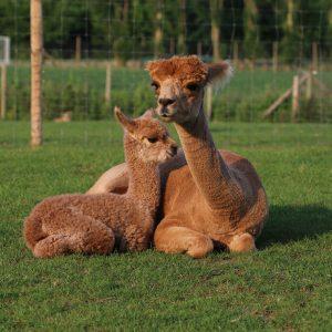 Mum and cria