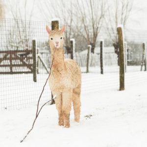 Cria in the snow