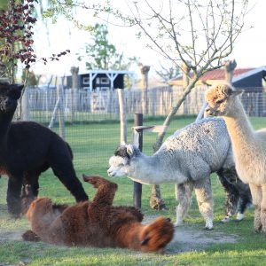 Playing alpacas