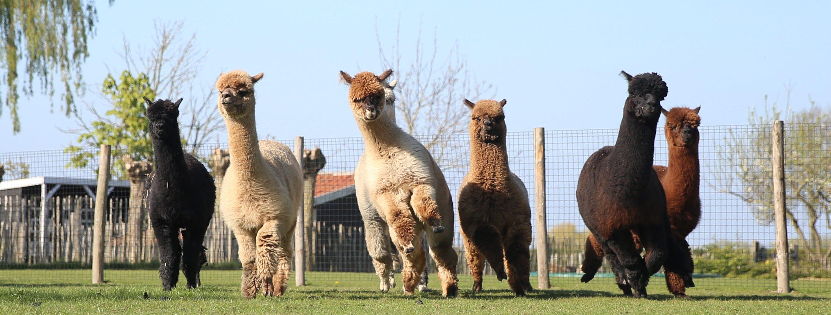 Alpacas running
