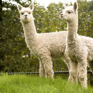 cria's on a hill
