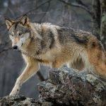 2021 wolf